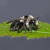 Andrena cineraria female, May