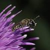 Lasioglossum sp, July