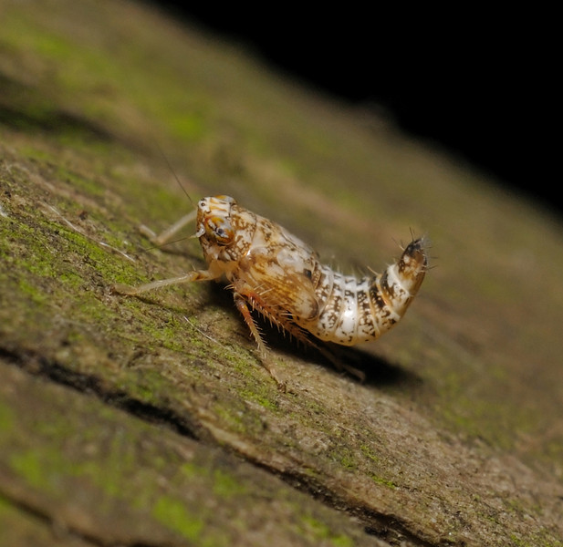 Leafhopper nymph, August