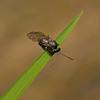 Gall Wasp, April