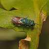 Cuckoo wasp, July
