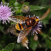 Volucella zonaria female, August