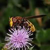 Volucella inanis female, August