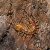 Centipede - Lithobius variegatus, July