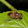 Eristalis arbustorum male, July