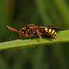 Nomada lathburiana female, April