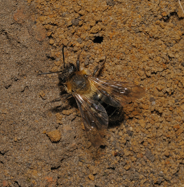 Andrena sp, May