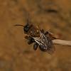Andrena clarkella female, April
