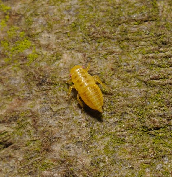 Planthopper nymph, April