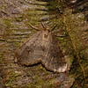 Winter Moth - Operophtera brumata, male, November