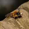Andrena fulva male, April