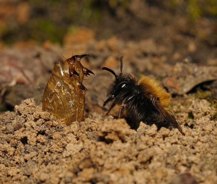 Andrena clarkella female and Bombylius major exuvium, April