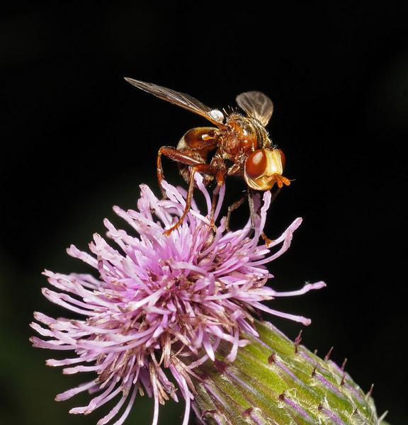Sicus ferrugineus, July