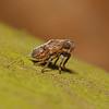 Issus coleoptratus nymph, April