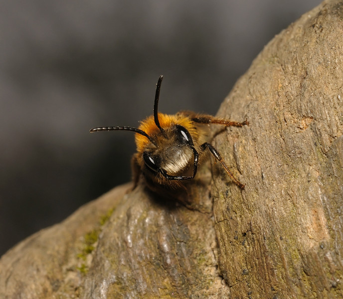 Andrena fulva male, April