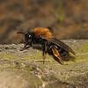 Andrena clarkella female, March