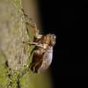 Issus coleoptratus, November