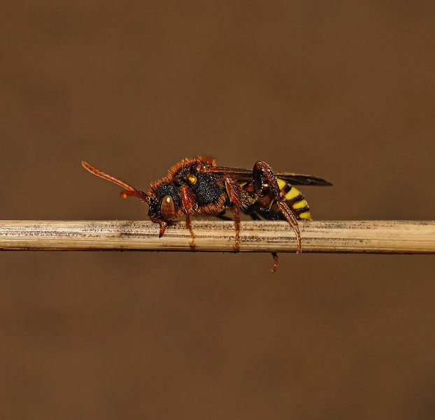 Nomada lathburiana female, April