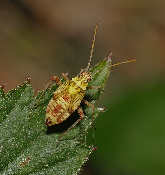 Rhabdomiris striatellus nymph, April
