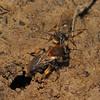 Andrena clarkella male and female, March