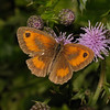 Gatekeeper male, July