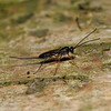 Ichneumon wasp, July