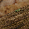 Bush Cricket nymph, May