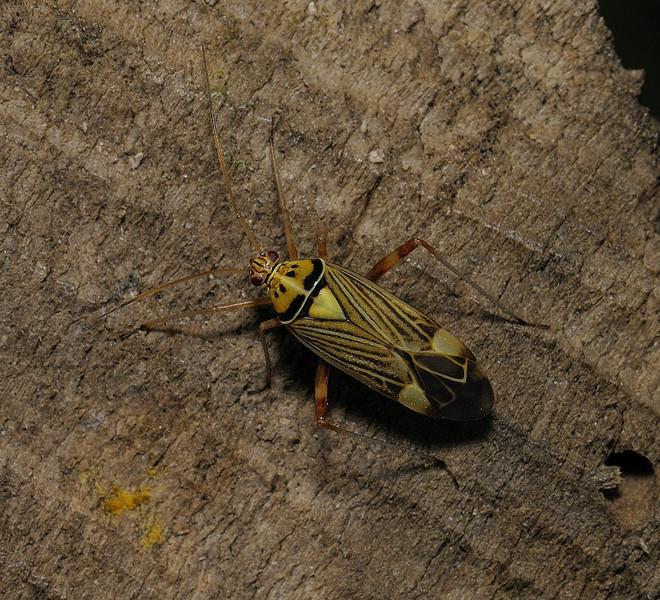 Rhabdomiris striatellus, April