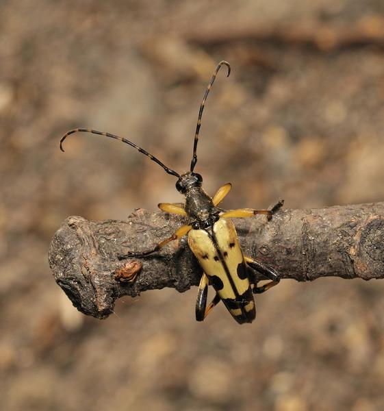 Longhorn beetle - Leptura maculata, June