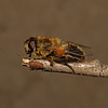 Eristalis sp, April