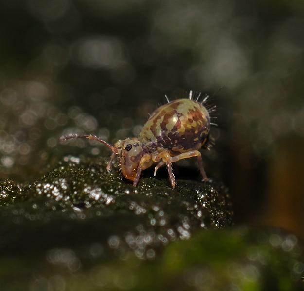 Springtail - Dicyrtomina sp, November