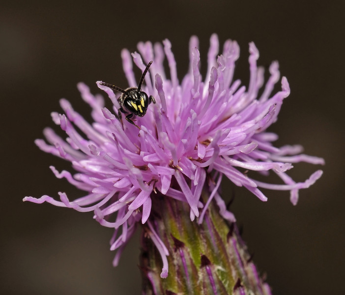 Hylaeus sp male, July