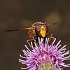 Volucella inanis male, July