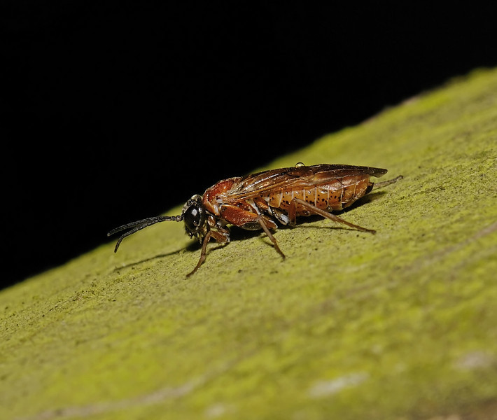 Sawfly, April