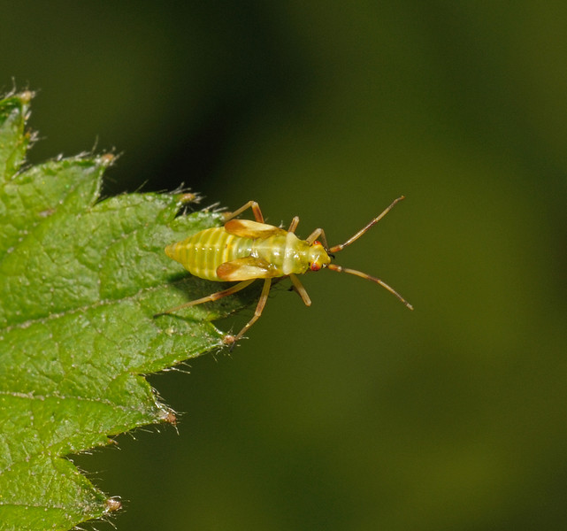 Dryophilocoris flavoquadrimaculatus nymph, April