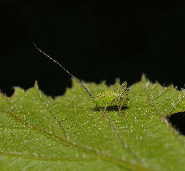 Leptophyes punctatissima nymph, April