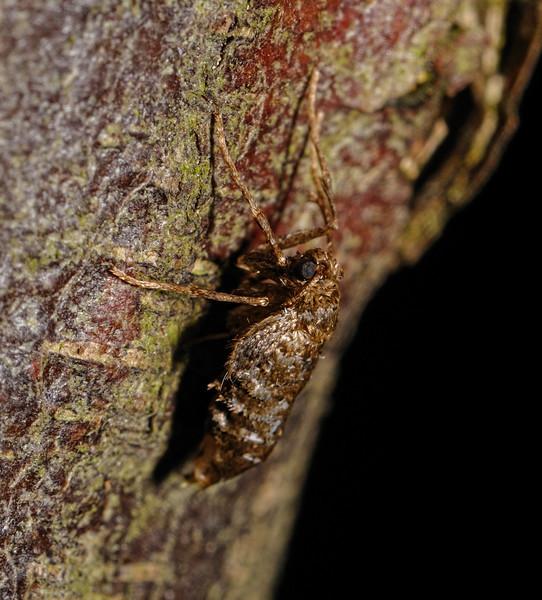 Winter Moth - Operophtera brumata, female, November