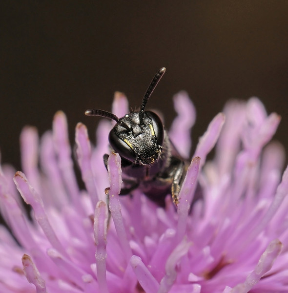 Hylaeus sp female, July
