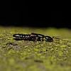 Rove Beetle, November