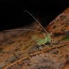 Bush Cricket nymph, May