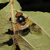 Volucella pellucens female, July