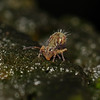 Springtail - Dicyrtomina sp, November