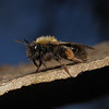 Andrena clarkella female, April