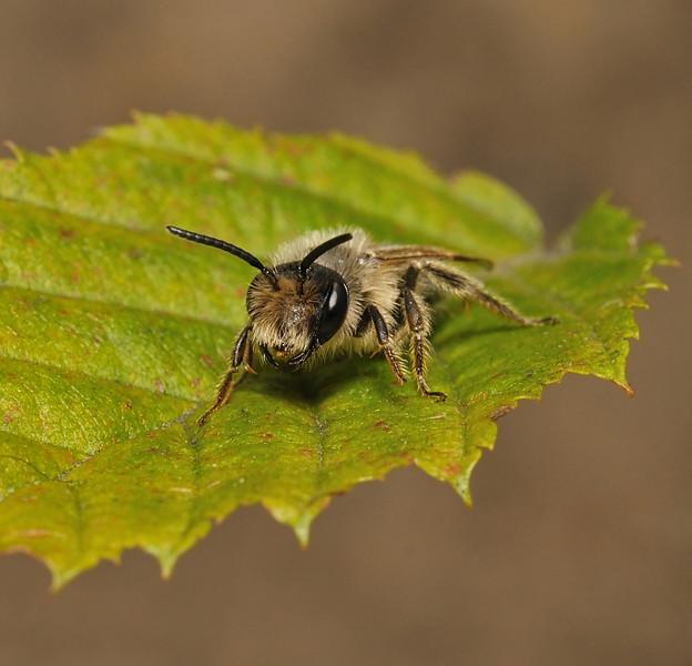 Andrena sp, July