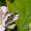 Thick Legged Flower beetle - Oedemera nobilis Male, June