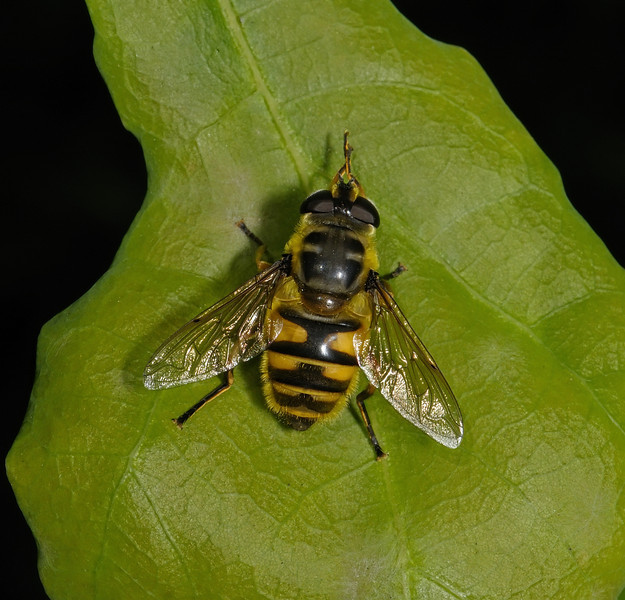 Myathropa florea female, July