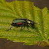 Malachite beetle - Malachius bipustulatus, May