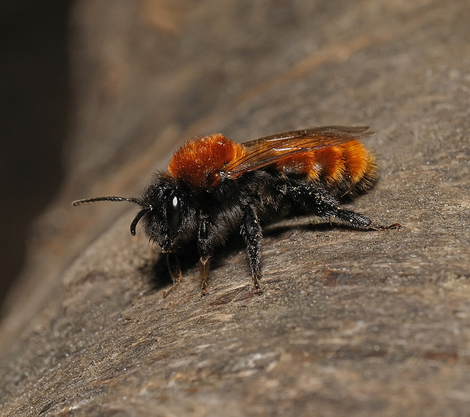 Andrena fulva female, April