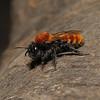 Andrena fulva female, April