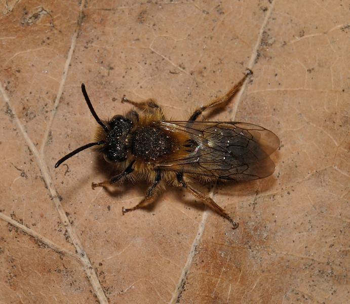 Andrena clarkella male, March